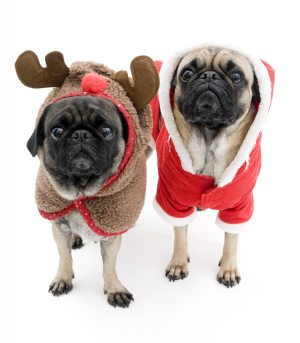pugs in Christmas jumpers