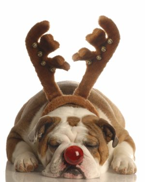 english bulldog dressed as rudolph the red nosed reindeer