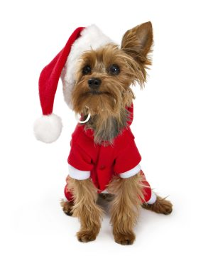 Yorkshire Terrier dog wearing a red santa suit and hat isolated on white