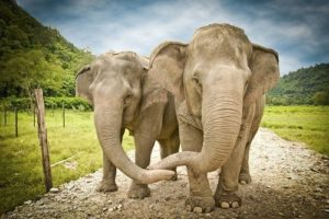 two elephants holding trunks