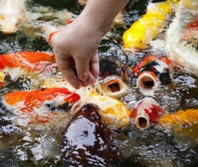 Koi fish swimming and feeding