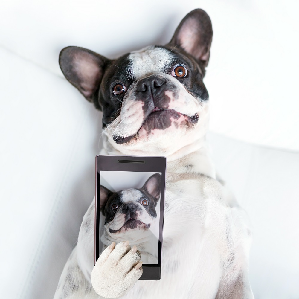 French bulldog taking a selfie with cell phone camera