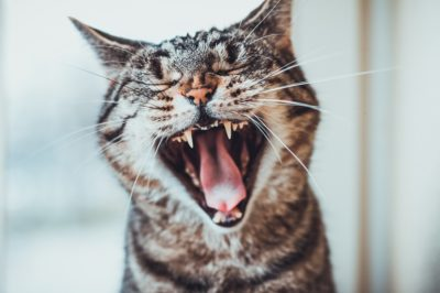 Striped tabby cat giving a big yawn