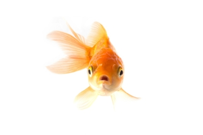 Studio Shot of Golden koi fish scared isolated on white background.