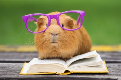 Guinea pig learning some key skills!